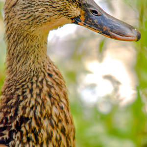 43f6c7af0b46d Pregnant Female Duck Photograph by Optical Playground By MP Ray