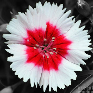 Dianthus Red And White Flower Decor Macro Square Format Watercolor Color Splash Black Digital Art By Shawn O Brien
