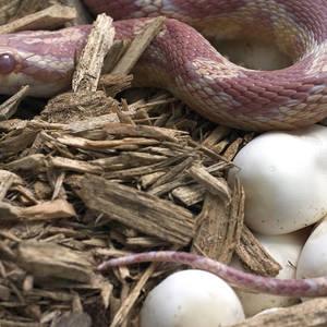 Corn Snakes Photograph by Simon D  Pollard