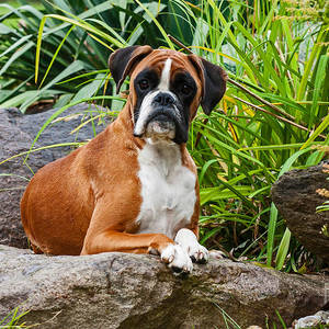 Boxer Dog Puppy Photograph By Doreen Zorn