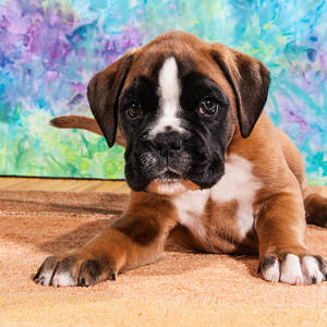 Cutie Boxer Dog Puppy Photograph By Doreen Zorn