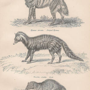 Carnivorous Animal Drawings Drawing by Anon