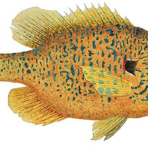 Freshwater Orange-throated Darter Painting by Thom Glace