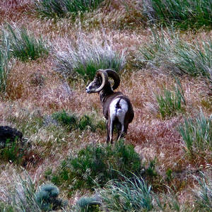 mountain goat pose photographsteve mckinzie