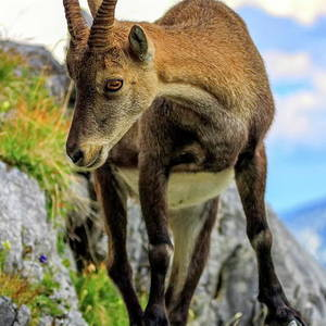 Male Wild Alpine Capra Ibex Or Steinbock Photograph By