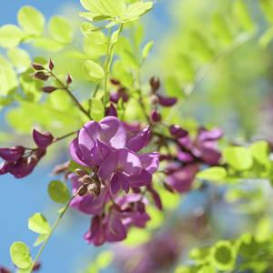 Purple Acacia Tree Flowers Photograph By Jenny Rainbow