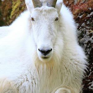 hill top goat photographsteve mckinzie