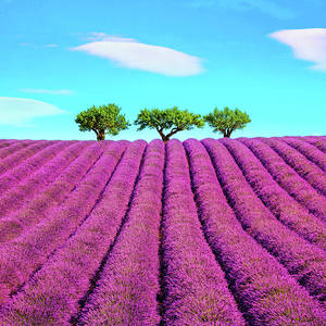 Lavender Flowers Blooming Fields Valensole Provence France Photograph By Stevanzz Photography