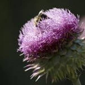 Bee On Thistle by Nancy Ayanna Wyatt