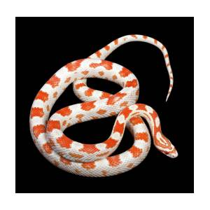 ee7cf44ebd1 Albino Corn Snake Photograph by Pascal Goetgheluck science Photo Library