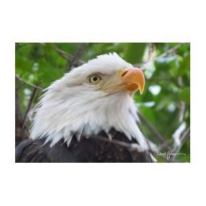 bald eagle pose photographdaniel adams