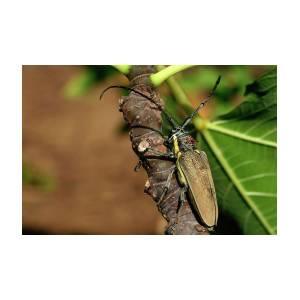 Batocera Rufomaculata Beetle