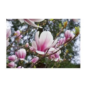 Botanical tree pink white magnolia flowers photograph by baslee troutman botanical tree pink white magnolia flowers by baslee troutman mightylinksfo