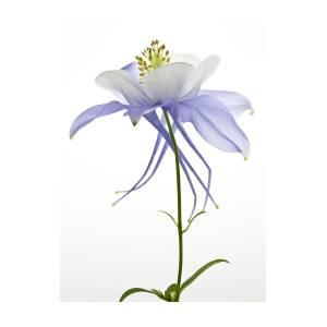 Columbine Flower Photograph By Photo By John Rice