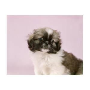 Cute Pekingese Puppy Portrait Pink