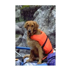 Golden Retriever Wearing Life Jacket Photograph By William H Mullins
