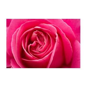 Shocking pink rose photograph by ana v ramirez shocking pink rose by ana v ramirez mightylinksfo