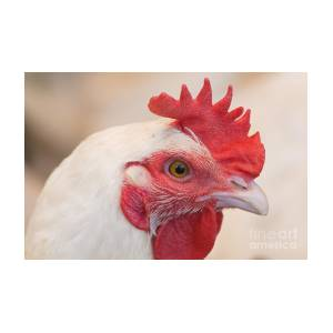 white rooster photograph by hagai nativ