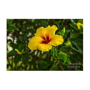 Yellow Beautiful Hibiscus Flowers In Bloom On The Island Of Maui