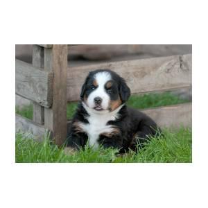 Bernese Mountain Dog Puppy Portrait 5