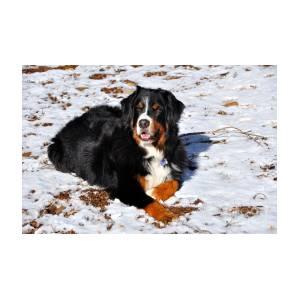 Bernese Mountain Dog Enjoys The Snow And Sunshine