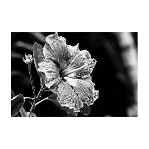 Hibiscus Flower In Black And White Photograph By Anya Brewley