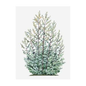 Illustration Of Artemisia Vulgaris Mugwort Bearing Yellow Flowers And Silver Green Leaves On Tall Stems
