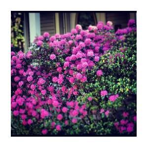 Pink Flowers Bush Garden Yard Photograph By Brian Townsend