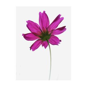 Single pink flower photograph by beckie bragga single pink flower by beckie bragga mightylinksfo
