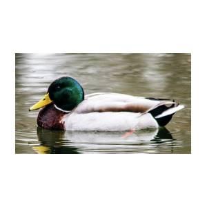 Male Mallard Duck by William Rogers