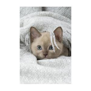 Tonkinese Cat, Siamese And Burmese Cross Cute Kitten In Blanket