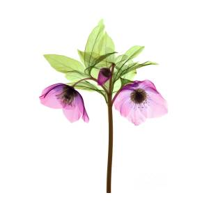 Hellebore Flowers X Ray Photograph By Ted Kinsman