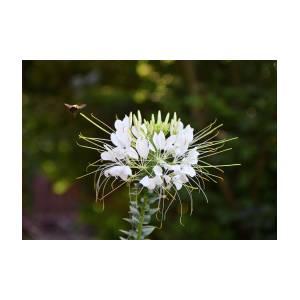 Bee White Spider Flower Photograph By Jennifer Kocan