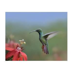 Green Breasted Mango Hummingbird Male Photograph By Tim Fitzharris