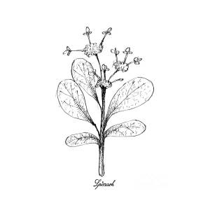 Hand Drawn Of Spinach On White Background Drawing by Iam Nee