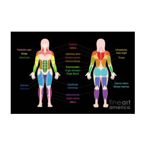 muscle chart female body colored muscles black by peter hermes furian
