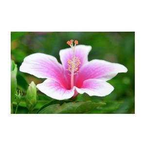 Pink And White Hibiscus Flower Photograph By Sean Davey