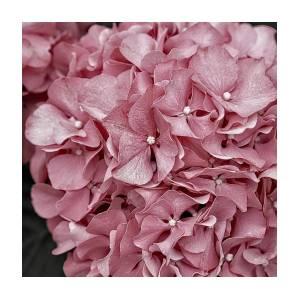 Pink hydrangea soft pink flowers muted pink flower image pink hydrangea soft pink flowers muted pink flower image by chris jones mightylinksfo