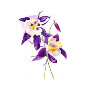 Two Purple Columbine Flowers Painting By Sharon Freeman