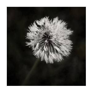 0305a213abd Water Drops On Dandelion Flower Photograph by Scott Norris