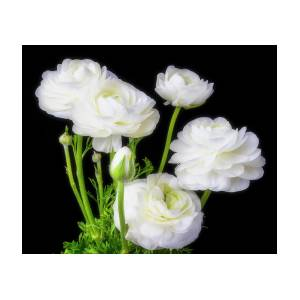White ranunculus flowers photograph by garry gay white ranunculus flowers by garry gay mightylinksfo