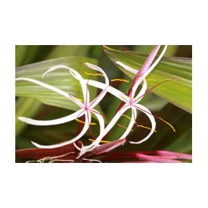 White Spider Flower Photograph By Charlie Moffett