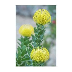 Yellow Pincushion Protea Grouping By Iris Richardson