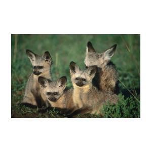 Bat-eared Fox Pups Octocyon Megalotis by Ariadne Van Zandbergen