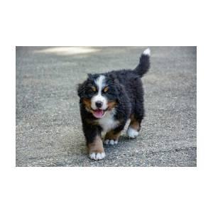 Bernese Mountain Dog Puppy 2