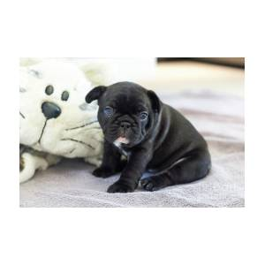 Cute French Bulldog Puppy Sitting On A Soft Blanket With His Fluffy Toy  by  Judit Polgar