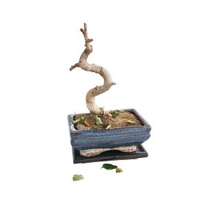 Dead Bonsai Tree Isolated Photograph By Gregory Dubus