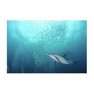 Dolphin Photograph By Alexander Safonov