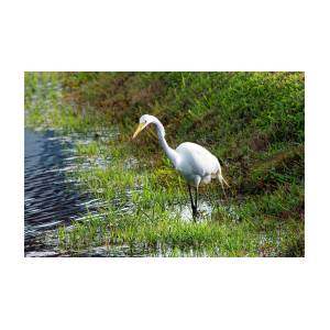 Great Egret On Prowl >> Great Egret On The Prowl Photograph By William Tasker