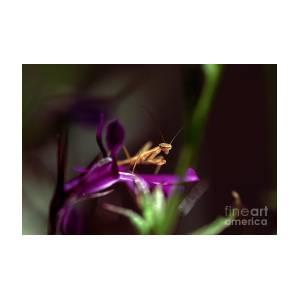 Newborn Praying Mantis Topanga Canyon Photograph By Wernher Krutein